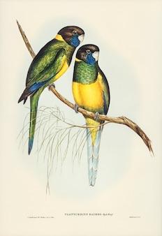 Parrakeet (platycercus bauerii) zilustrowany przez elizabeth gould