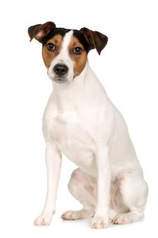Parson russell terrier z 2 lat. portret psa na białym tle