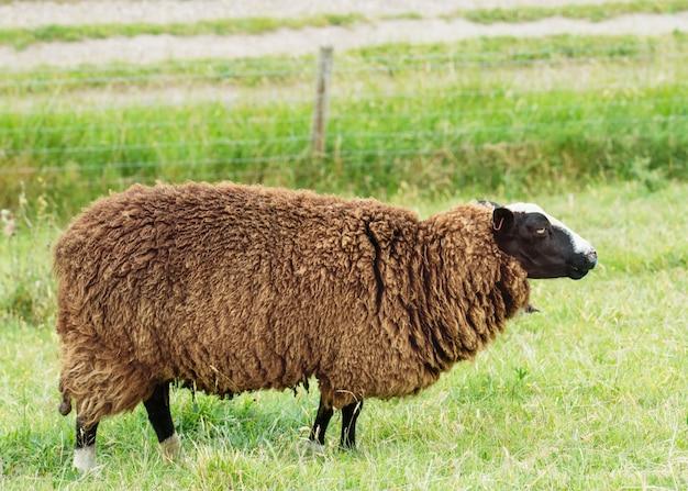 Pasące się duże brązowe, kręcone owce na łące, patrząc z boku