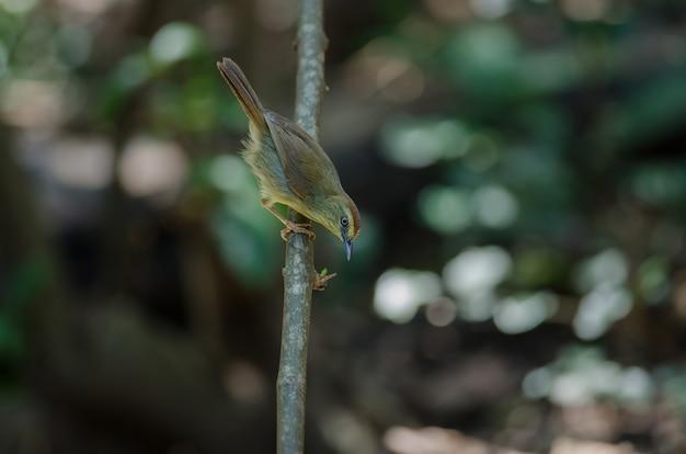 Pasiasta tit papla w lasowym tajlandia