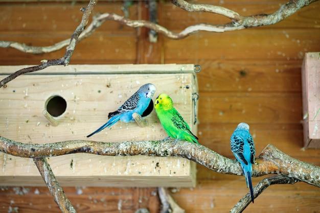 Pasiaste papugi siedzą na gałęzi w pobliżu gniazd