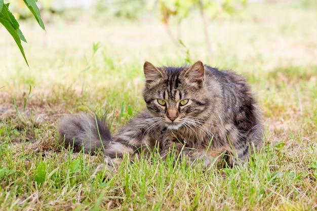 Pasiasty, puszysty kot siedzi na trawie i uważnie patrzy przed siebie