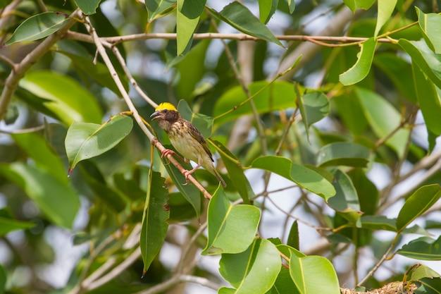 Pasmowy tkacz odpoczywa na gałąź w lesie (ploceus manyar)