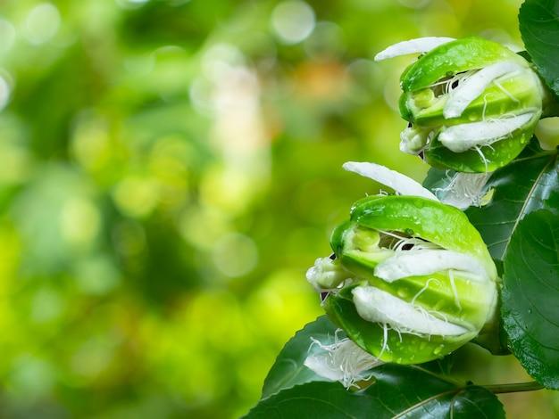 Passiflora edulis flavicarpa lub kwiat marakui