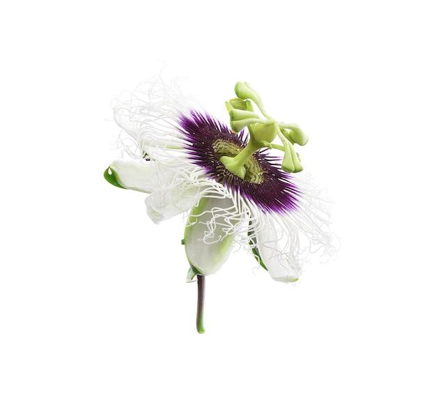 Passiflora na białym tle