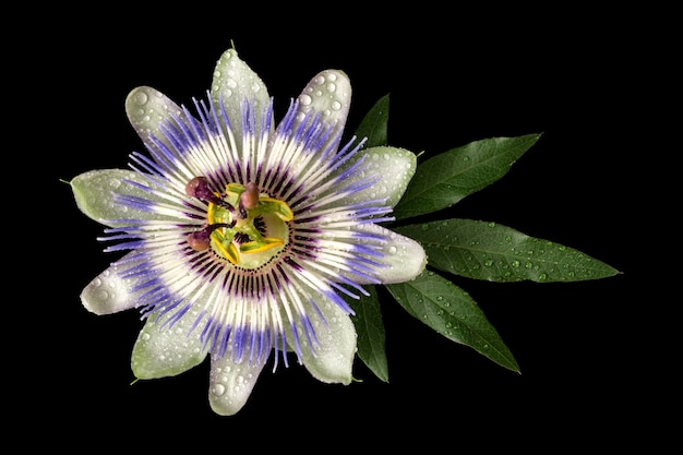Passiflora (passiflora) z kropli wody na białym tle na czarnym tle. duży piękny kwiat.