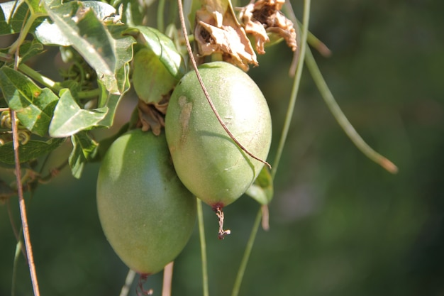 Passiflory i owoce