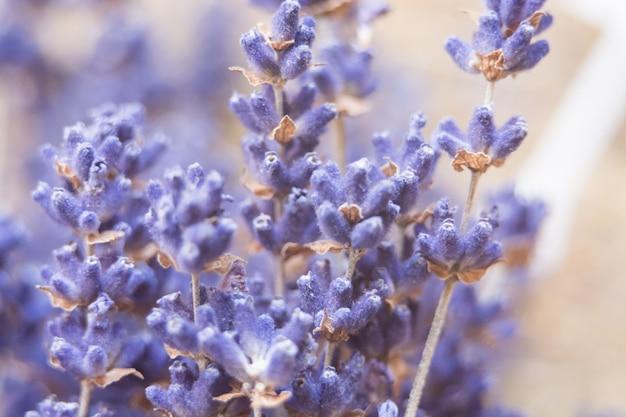 Pastelowe kolorowe zdjęcie suszonych kwiatów lawendy i bukiet z lawendą. z płytką głębią ostrości. selektywne skupienie. nieostry.
