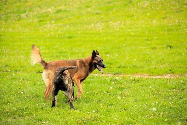 Pasterz malinois i grający w pitbull
