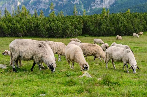 Pastwiska alpejskie w parku narodowym retezat, karpaty, rumunia.