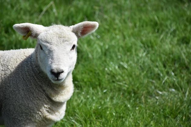 Patrząc bezpośrednio w twarz uroczej małej owieczki.
