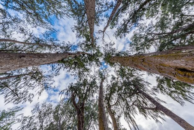 Patrząc w górę wysokich pni drzew ironwood ku niebu w waimanalo beach na oahu na hawajach