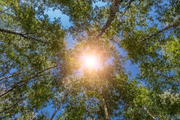 Patrząc w górę zielony las, drzewa z zielonymi liśćmi, błękitne niebo i światło słoneczne z widokiem z dołu