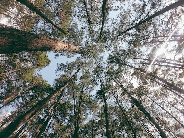 Patrząc w niebo przez baldachim lasu.