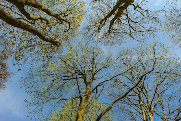 Patrząc w niebo przez wierzchołki drzew wiosną, stribro