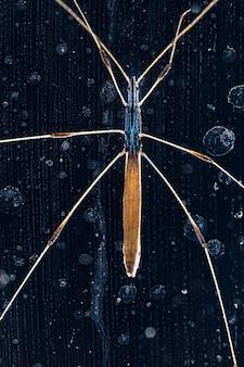 Patyczak na ciemnym tle z bliska phasmida diapheromeridae
