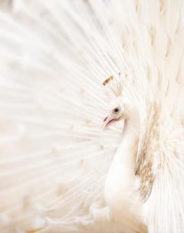 Paw biały