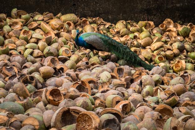 Paw na drzewie. portret pięknego pawia. paw indyjski lub paw niebieski pavo cristatus. park narodowy yala. sri lanka.