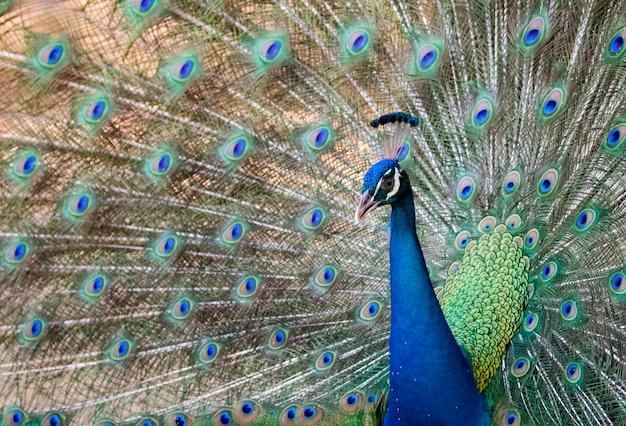 Paw pokazujący swoje piękne pióra.