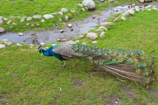 Paw spaceru na zielonej trawie wczesnym rankiem