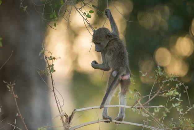 Pawian dziecko wiszące na gałęzi