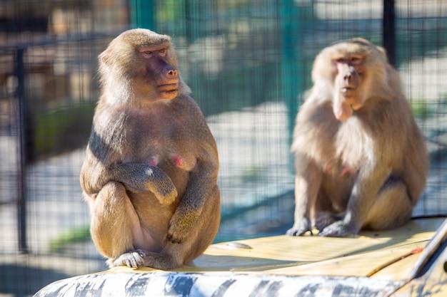 Pawian małpy w zoo na słonecznym dniu.