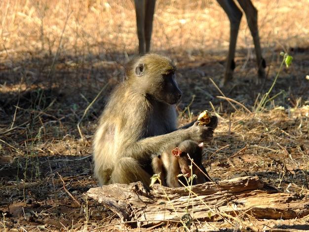 Pawian na safari w chobe parku narodowym, botswana, afryka