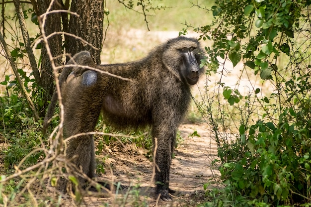 Pawian w dżungli safari w afryce uganda