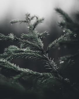 Pchnięcie pionowe selektywne focus gałęzi świerkowych