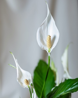 Peace lily, kwiat spathiphyllum bliska
