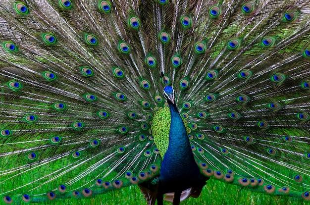 Peacock peacock piękny ogon pokazany wzór zielony punkt