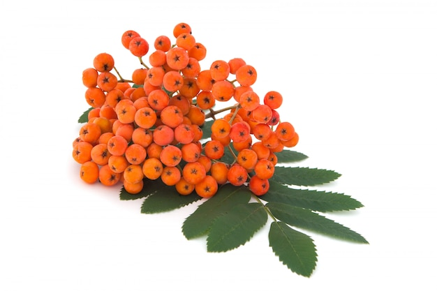 Pęczek ashberry z liśćmi