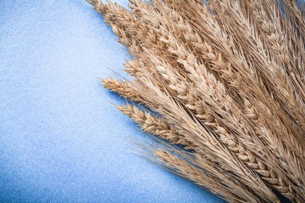 Pęczek kłosów pszenicy złotej na niebieskiej powierzchni