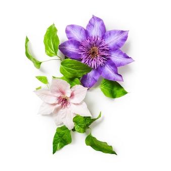 Pęczek kwiatów powojników na białym tle ścieżka przycinająca w zestawie kwiatowy wzór