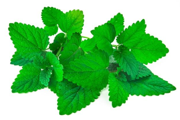 Pęczek liści zielonej mięty na na białym tle białej powierzchni