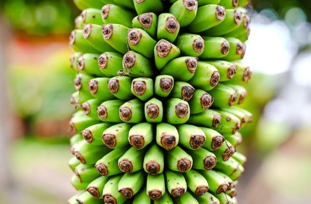 Pęczek małych zielonych bananów na palmie z bliska