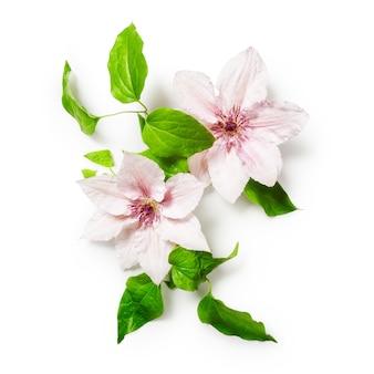 Pęczek powojników różowe jasne kwiaty na białym tle zawiera ścieżkę przycinającą na białym tle