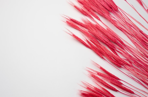 Pęczek pszenicy czerwonej na białym tle. abstrakcyjne tło dla projektanta, kopia przestrzeń