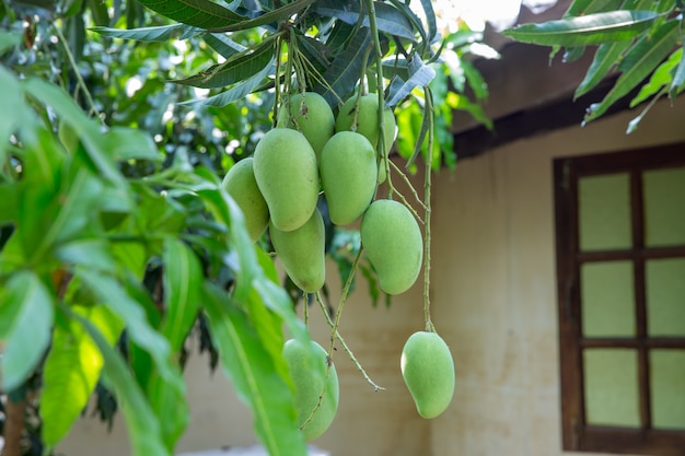 Pęczek surowego mango w tajlandii
