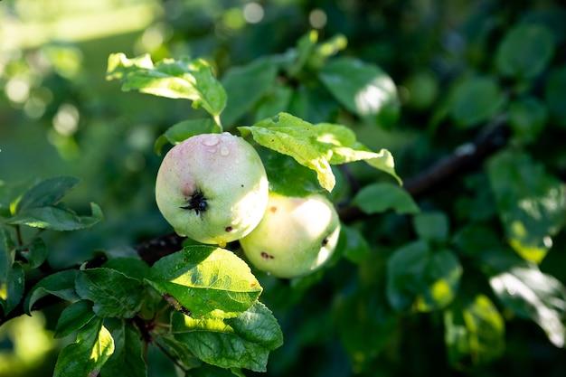 Pęczek zielonych jabłek na gałęzi gotowe do zbioru