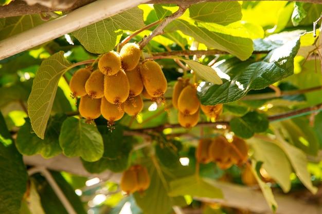 Pęczki kiwi wiszą na drzewie, gdzie rosną egzotyczne owoce.