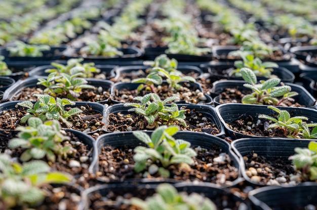 Pędy roślin zielarskich rosnących w szklarni