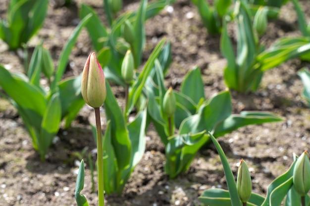 Pędy tulipanów w ogrodzie, selektywne skupienie