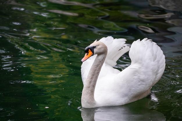 Pełen wdzięku biały łabędź pływający w jeziorze, łabędzie na wolności.