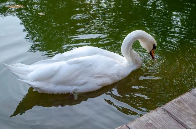 Pełen wdzięku biały łabędź pływający w jeziorze, łabędzie na wolności