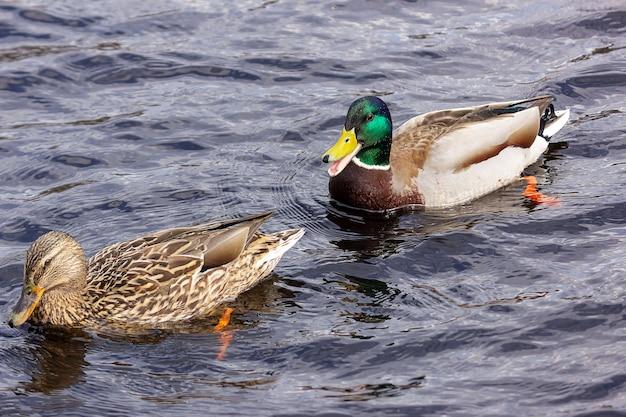 Pełen wdzięku kaczki krzyżówki pływają w wodzie z falami.