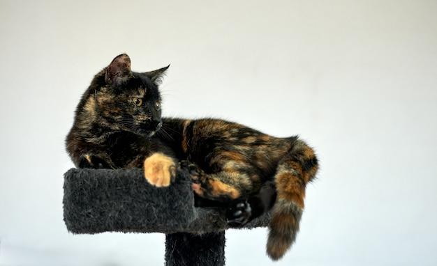 Pełen wdzięku kot szylkretowy relaksujący się na drapaku