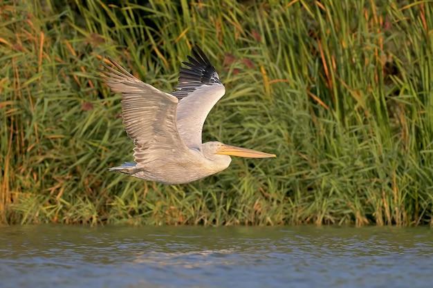 Pelikan dolmatyński w locie