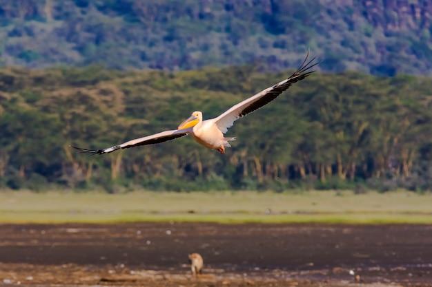 Pelikan lata nad jeziorem. nakuru, kenia