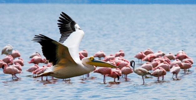 Pelikan leci nisko nad jeziorem.